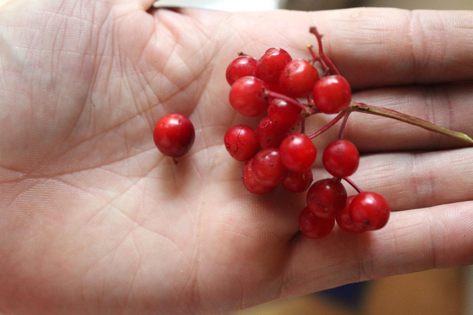 Highbush Cranberry Species Compared
