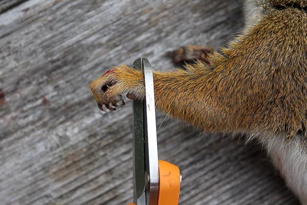 Removing Squirrel Feet