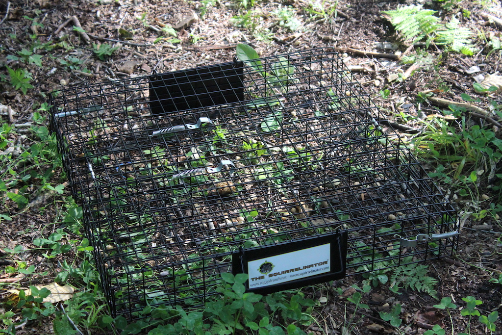 Squirrelinator Trap Setup