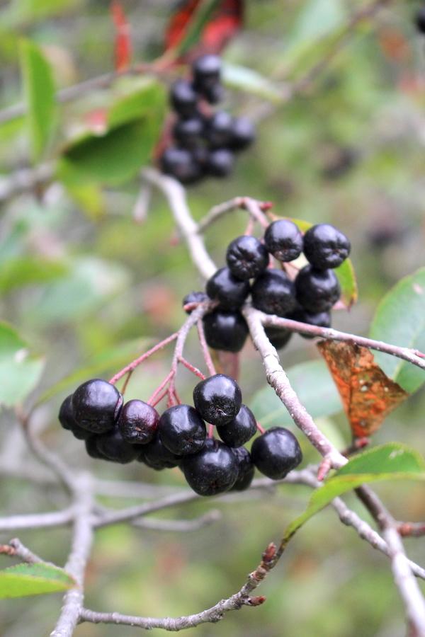 Wild Berries of Black Chokeberry (Aronia)