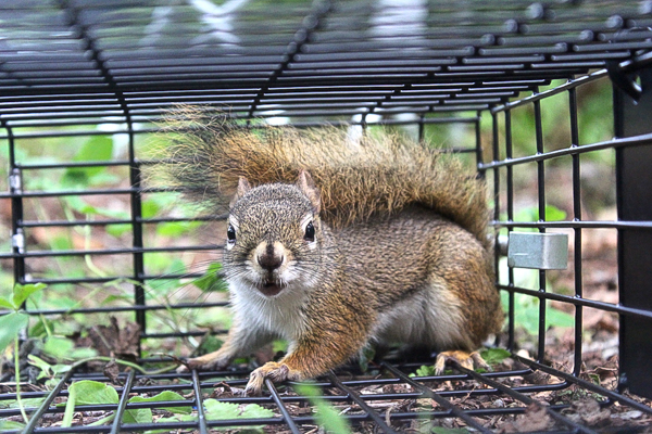 Best Squirrel Traps