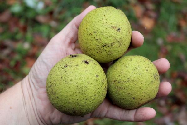 Black Walnuts in Hulls