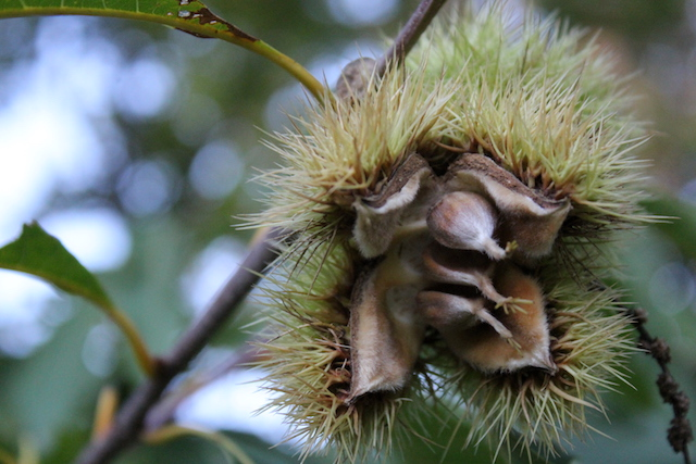 Chestnut nut on Tree