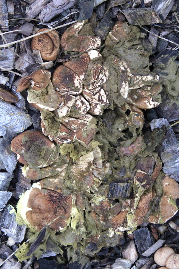 Zielone zarodniki grzybów puffball