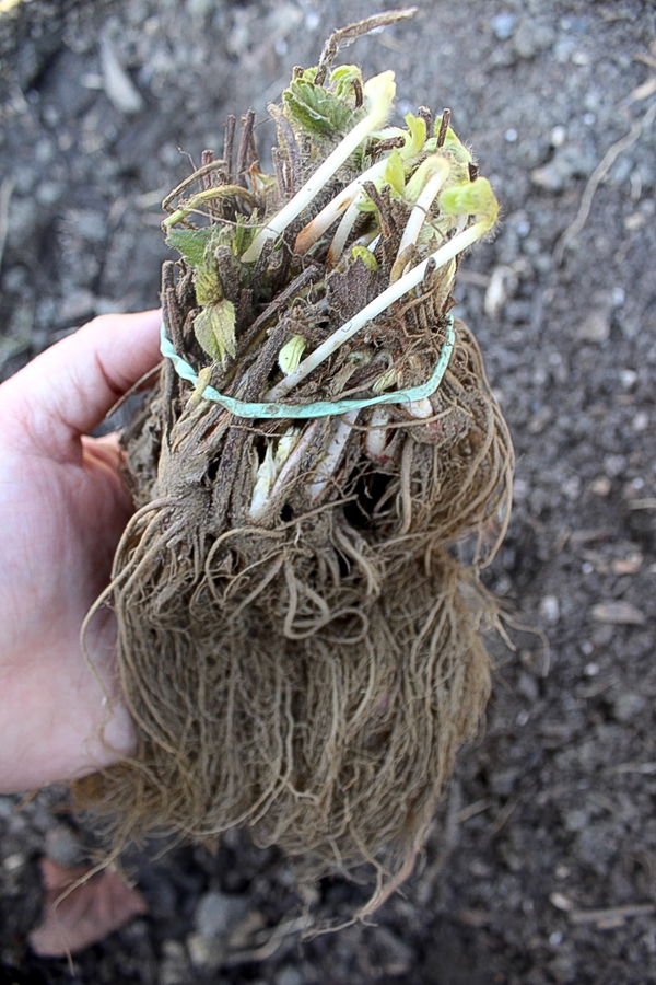 Bareroot Strawberry Bundle