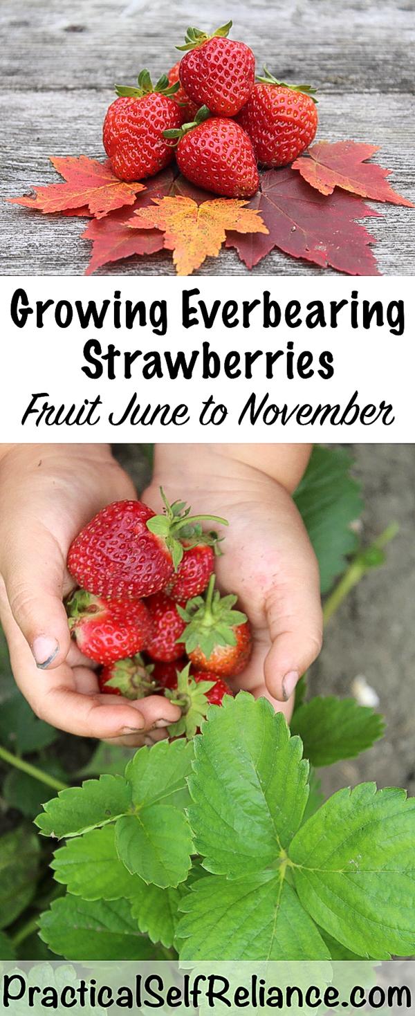 Growing Everbearing Strawberries #strawberries #howtogrow #growingfood #gardening #everbearing #gardeningtips