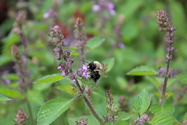 A happy bee enjoying tulsi forage in the fall, when few other plants are blooming.