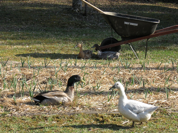 Ducks roaming on a suburban farm