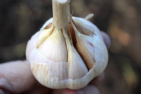 Peeling Garlic for Planting