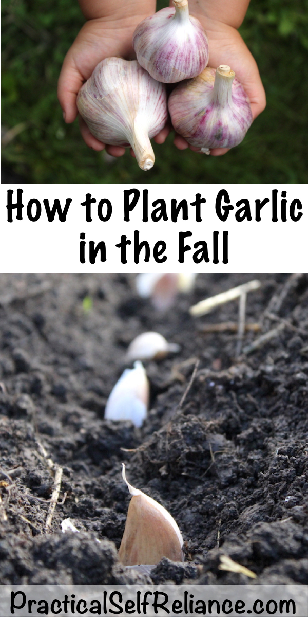 How to Plant Garlic in the Fall ~ Growing Garlic ~Fall Planting #vegetablegardening #growingfood #garlic #fallgardening #homesteading #howtogrow