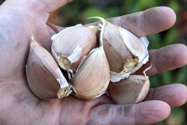 Uncle Fred's German White Seed Garlic