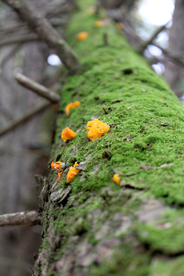 Witches butter mushrooms on a standing dead softwood tree.