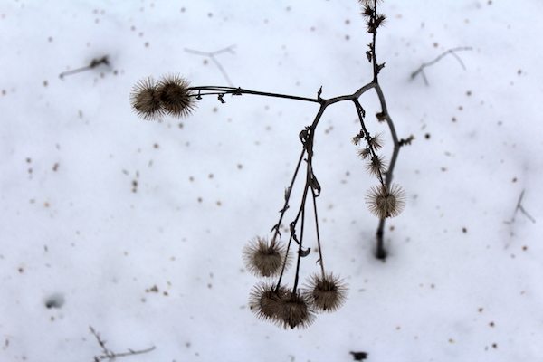 Burdock stock in winter with an edible root below the snow