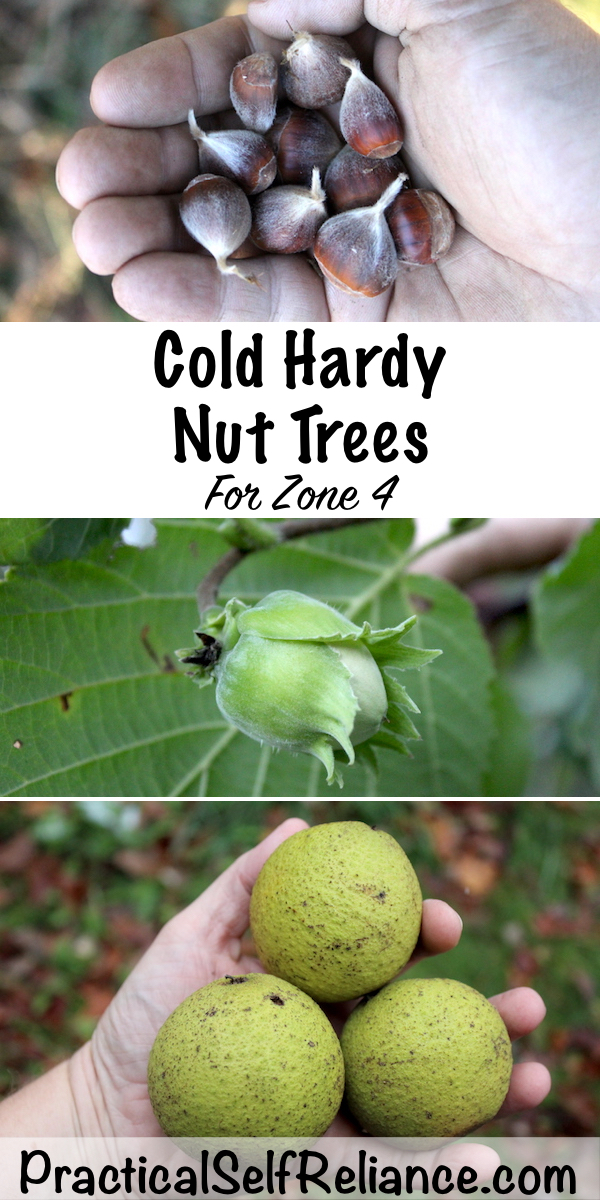 Cold Hardy Nut Trees for Zone 4 #coldhardy #nuts #nuttrees #permaculture #homesteading #selfsufficiency #preparedness #orchard