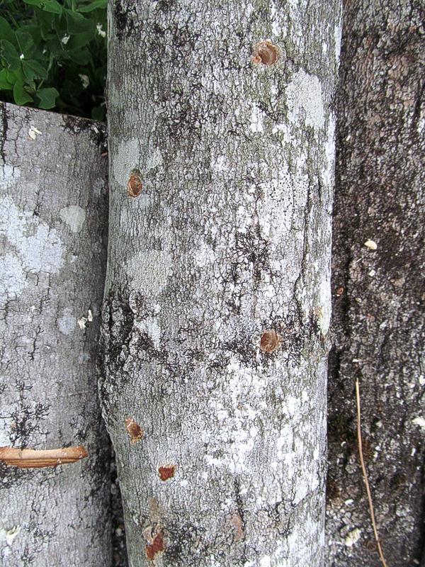 Holes drilled for shiitake mushroom plugs