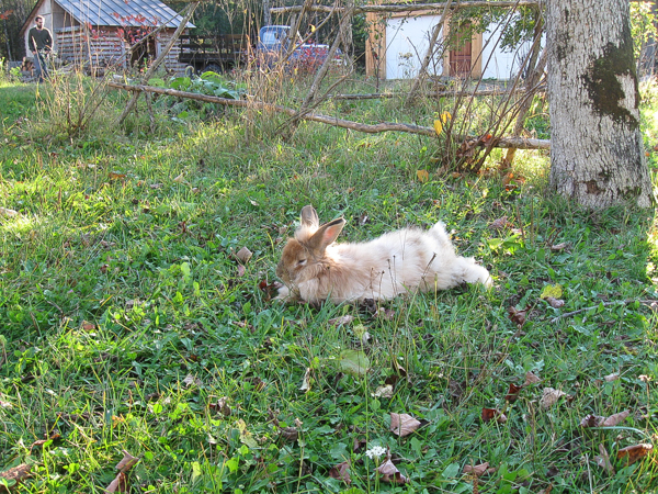 Free Range Angora Rabbit