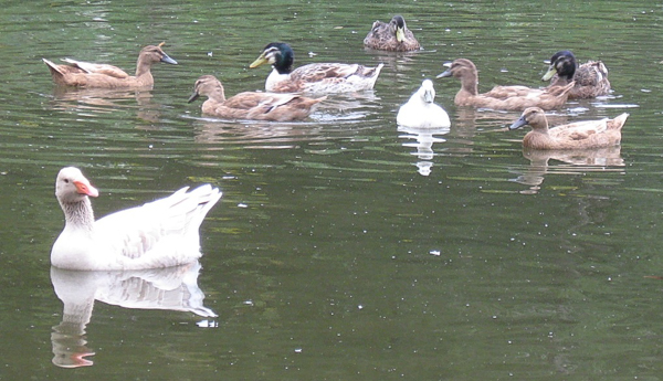 geese and ducks on pond