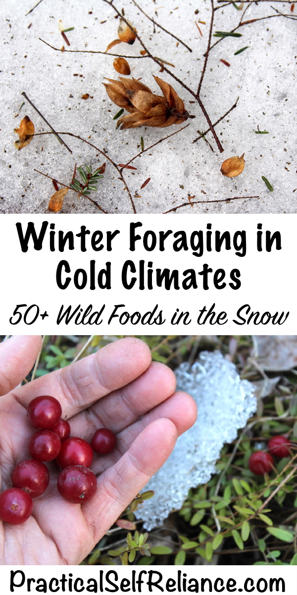 Winter foraging in cold climates ~ 50+ wild foods in the snow #foraging #winter #wildfood #wildcrafting #survival #selfsufficiency #shtf #preparedness