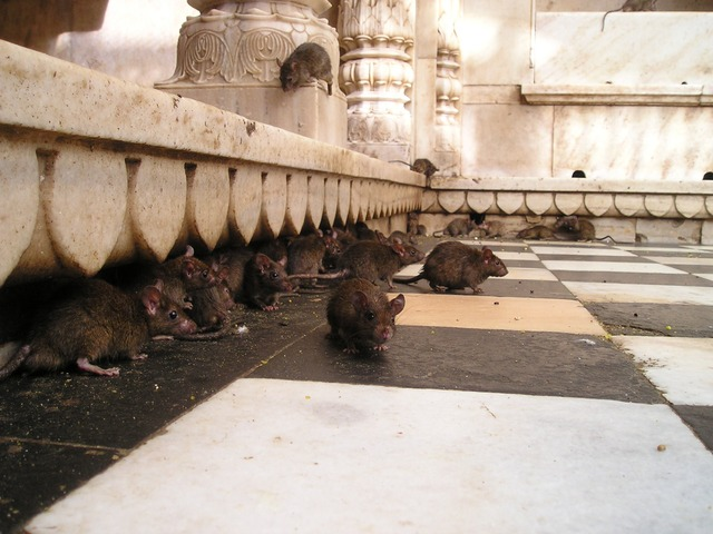Rats in a temple in India