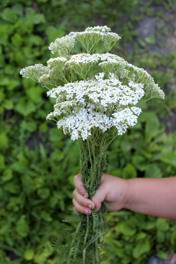 Bouquet of Yarrow