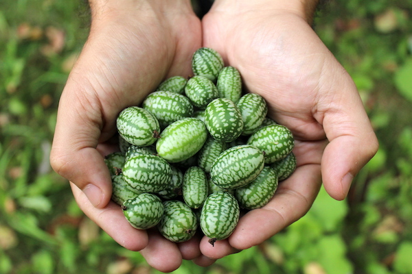 Cucamelon Fruit