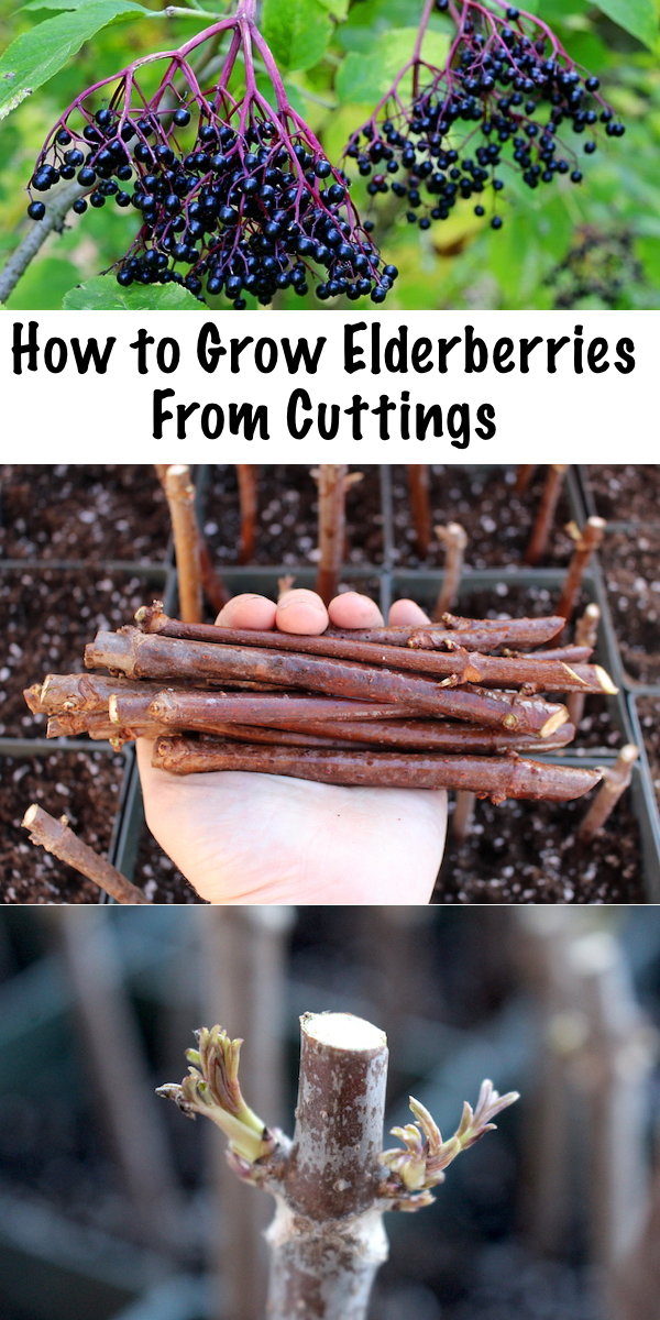 Growing Elderberries from Cuttings ~ Propagating elderberries is simple, all you need is a few hardwood cuttings and a bit of patience. #elderberries #growing #propogating #permaculture #homesteading #herbalism