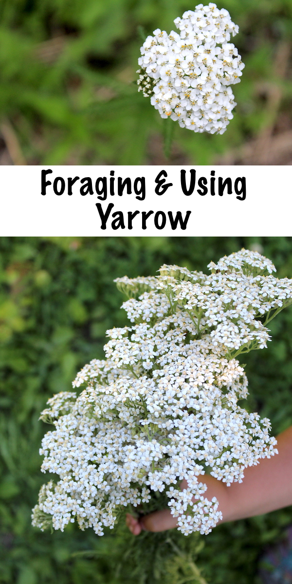 Foraging and Using Yarrow (achillea millefolium) ~ How to identify yarrow, a common wild weed, plus ways to use it medicinally to stop bleeding and treat fevers. #foraging #yarrow #uses #medicinal #natural #fevers #skincare #herbalism