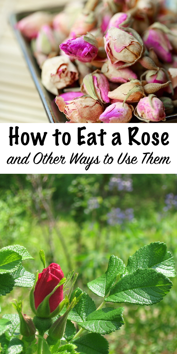 How to Eat a Rose ~ and other ways to use them ~ Roses are not only edible, they're medicinal too. They taste great in everything from drinks to dessert, and homemade rose body products are great for the skin too!