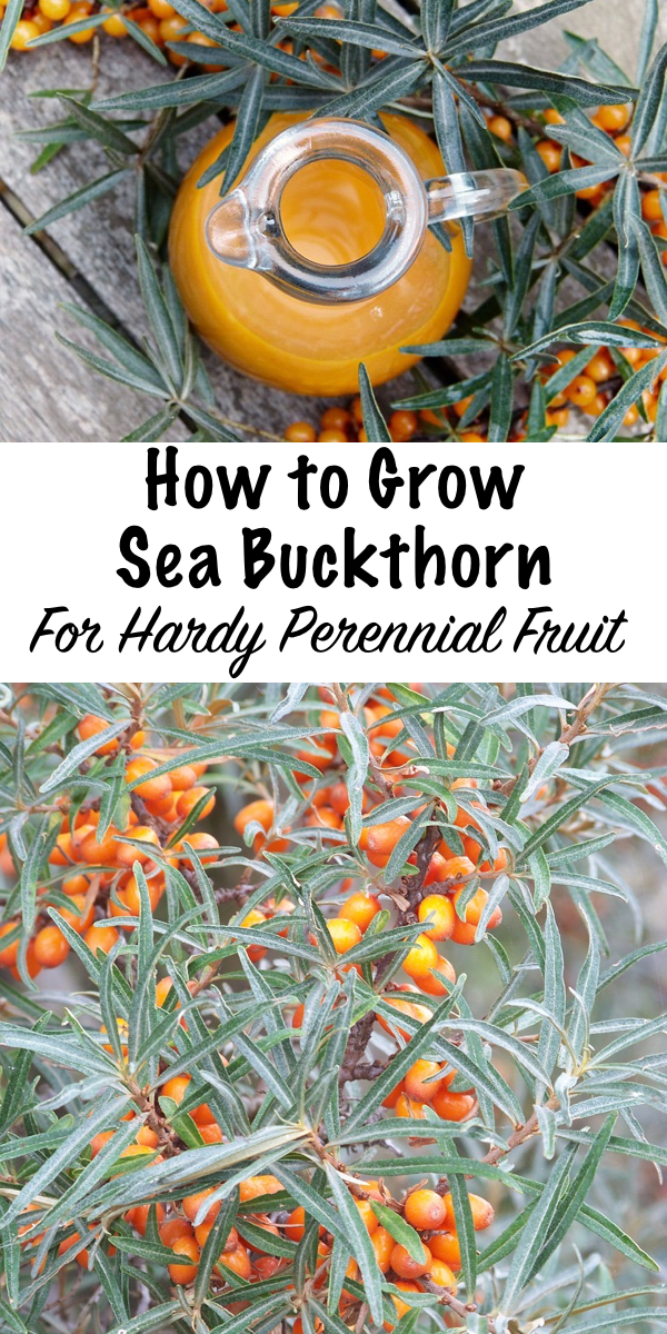 How to Grow Sea Buckthorn ~ Hardy to zone 3, sea buckthorn is a resilient perrennial shrub that produces steady crops of nutrient rich berries. It's gaining popularity as a super food, and it's used in many different supplements and cosmetics. They're productive and easy to grow at home, the perfect addition to a permaculture food forest. #seabuckthorn #growing #permaculture #homesteading #superfood #uses