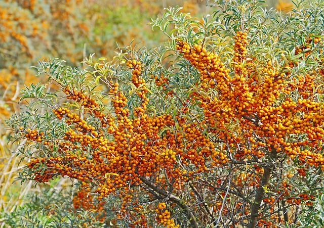 Sea buckthorn plant with fruit