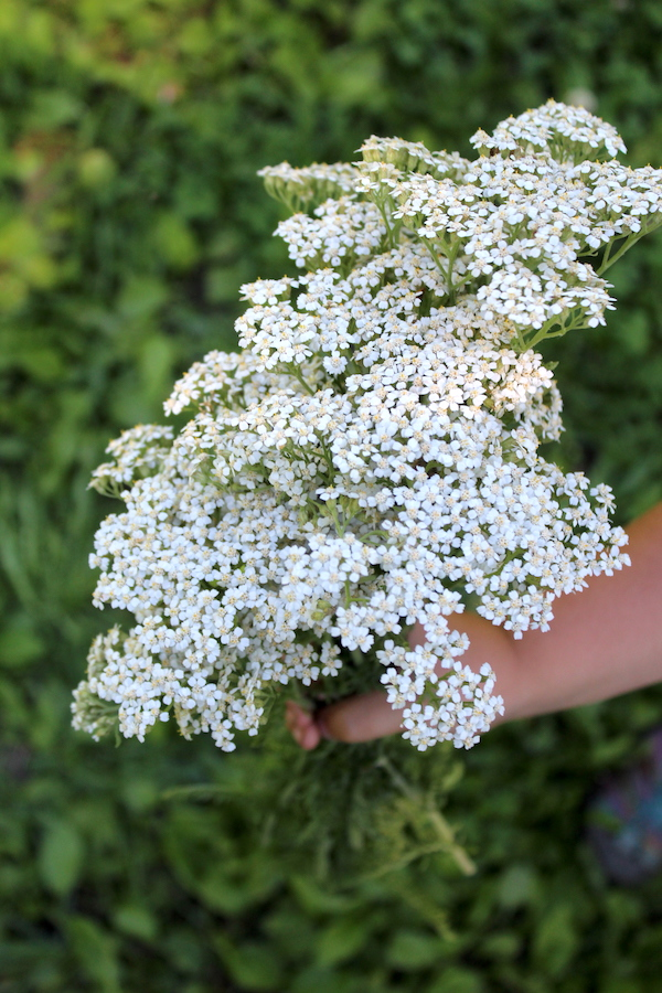 Bouquet of Yarrow