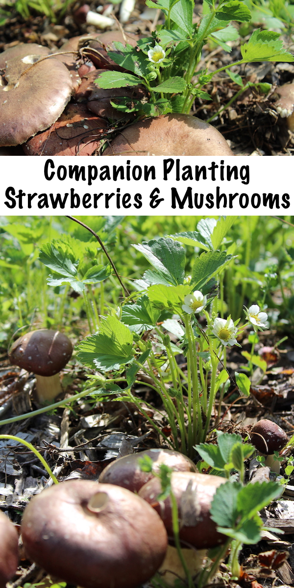 Companion Planting Strawberries and Mushrooms ~ Growing Mushrooms with Strawberries to Increase Yields in Permaculture Plantings #companionplanting #strawberries #mushrooms #winecapmushrooms #permaculture #homesteading #gardening #growyourownfood