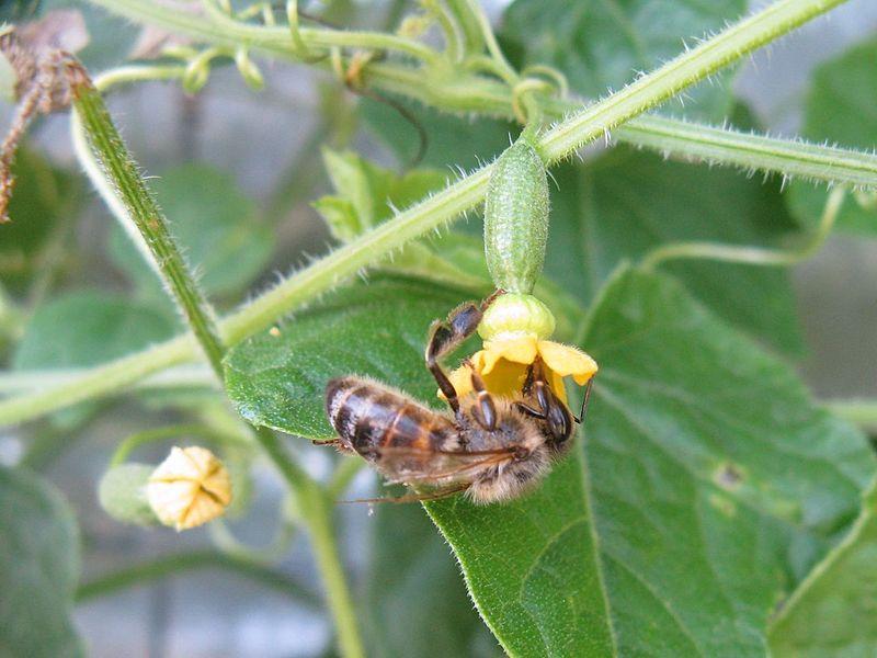 Cuamelon Plant Pollination