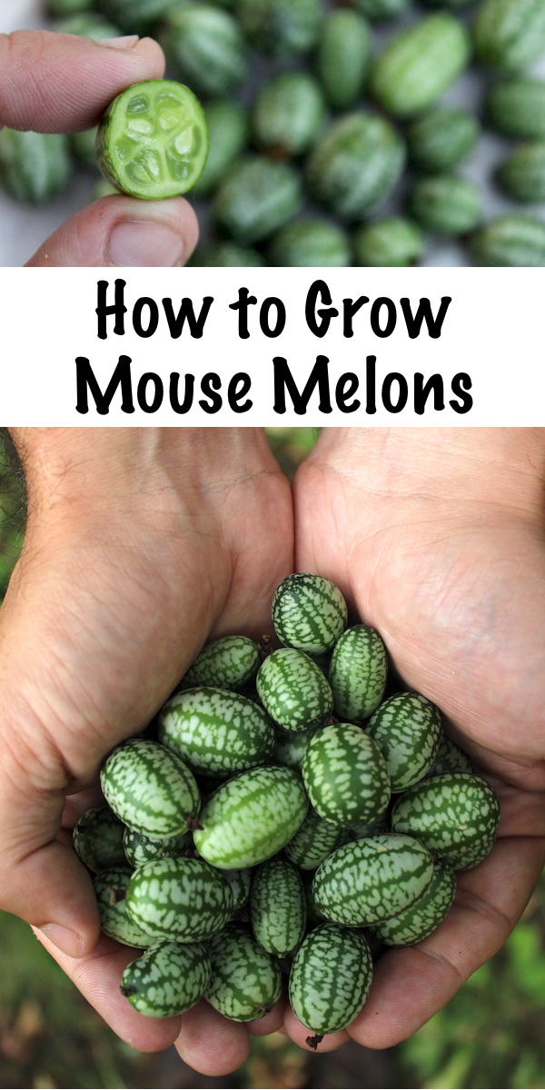 How to Grow Mouse Melons ~ Also known as cucamelons, mexican sour gerkins or sandiitas. This tiny cucumber relative is neither a cucumber, nor a melon. They taste like a crisp cucumber that's been kissed by a lime. Cucamelons are perennial in zones 7-10, or annual everywhere else. #cucamelon #mousemelon #ediblegarden #gardening #homesteading  #vegetablegarden