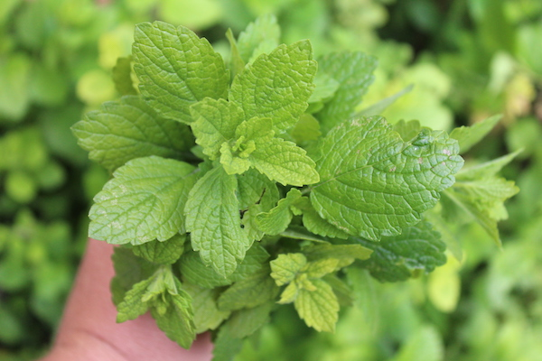 A handful of home harvested lemon balm ready for use