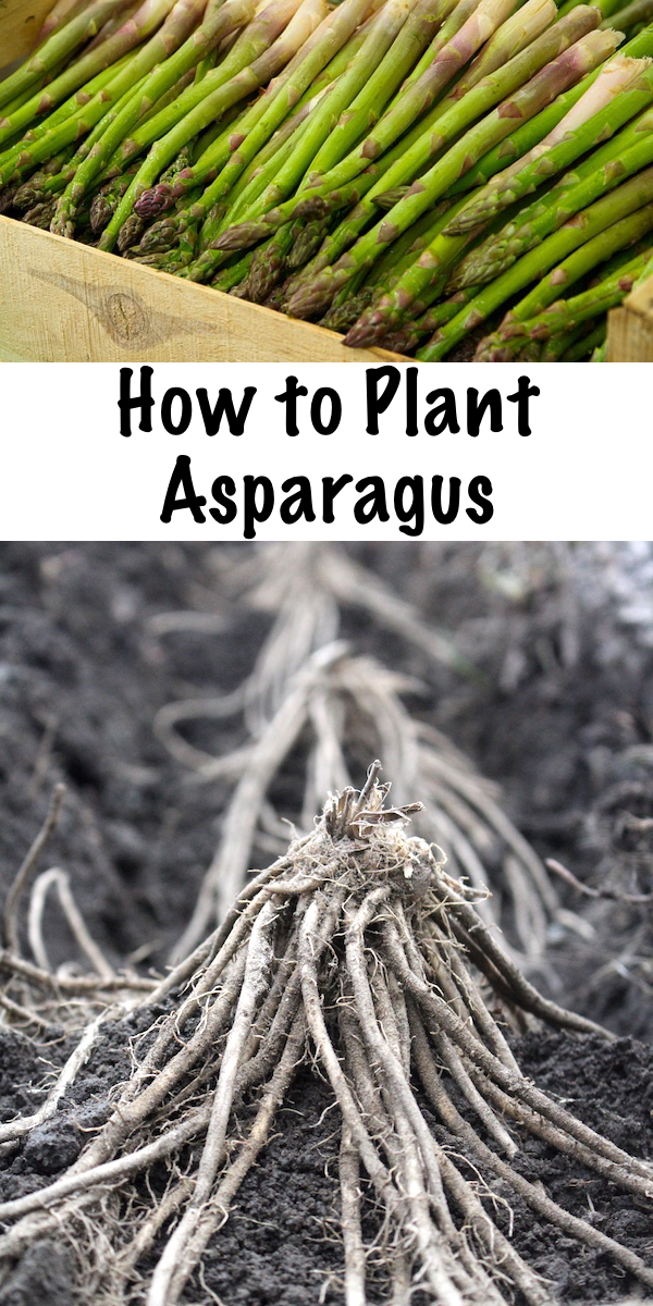 How to Plant Asparagus ~ Planting asparagus in the garden can pay back for years to come, assuming you've taken the time to properly prepare the soil. A well planted asparagus bed can yield for 6 weeks each spring for 20 years or more. Here's how to plant asparagus from either crowns (bare root plants) or seeds. #asparagus #growingasparagus #ediblegarden #gardeningtips