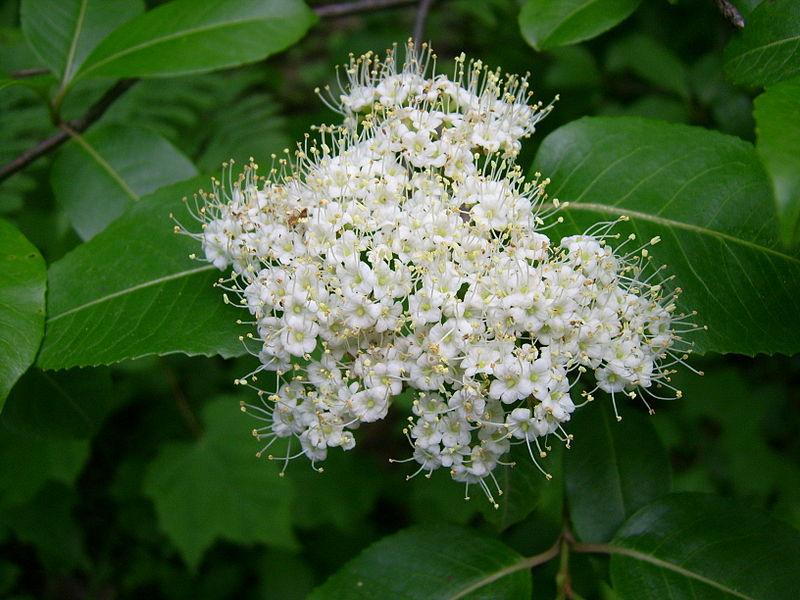 Wild Raisin Flowers