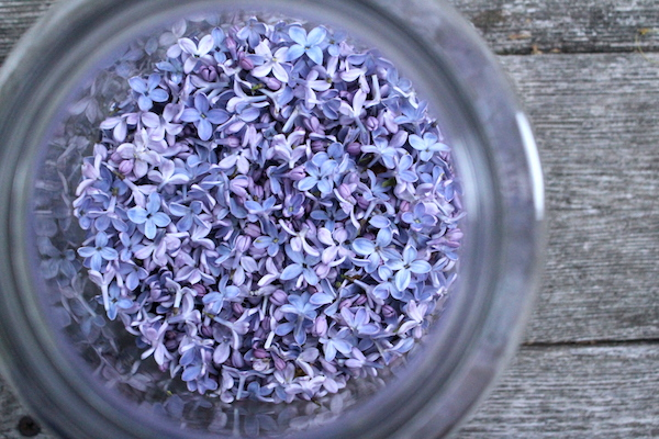 Lilac Flowers in wide mouth Demijohns for making a floral lilac wine