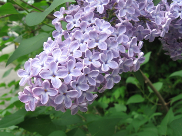 Can you eat lilacs? Yes! Lilacs are edible flowers.