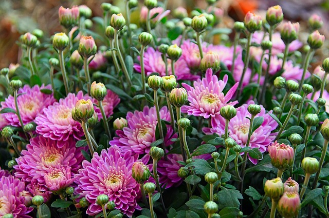 Edible Flowers on a Chrysanthemum