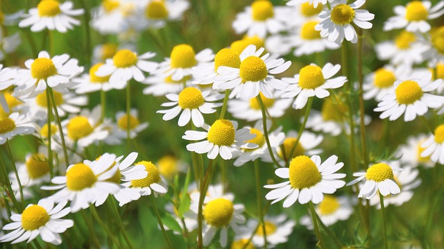 Edible chamomile flowers