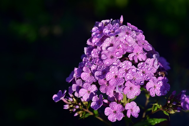 phlox flowers are edible flowers with a slightly spicy taste