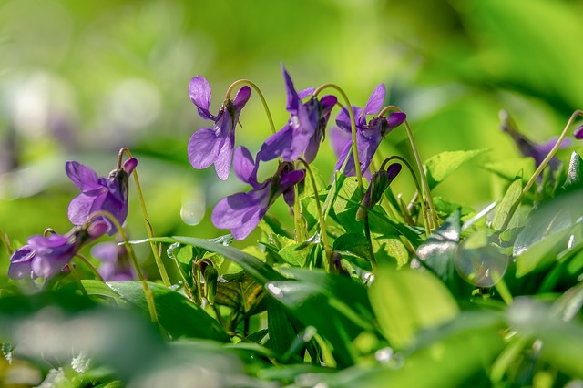 Edible flowers on a wild violet