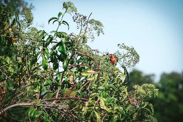 red finch sits in an elderberry bush