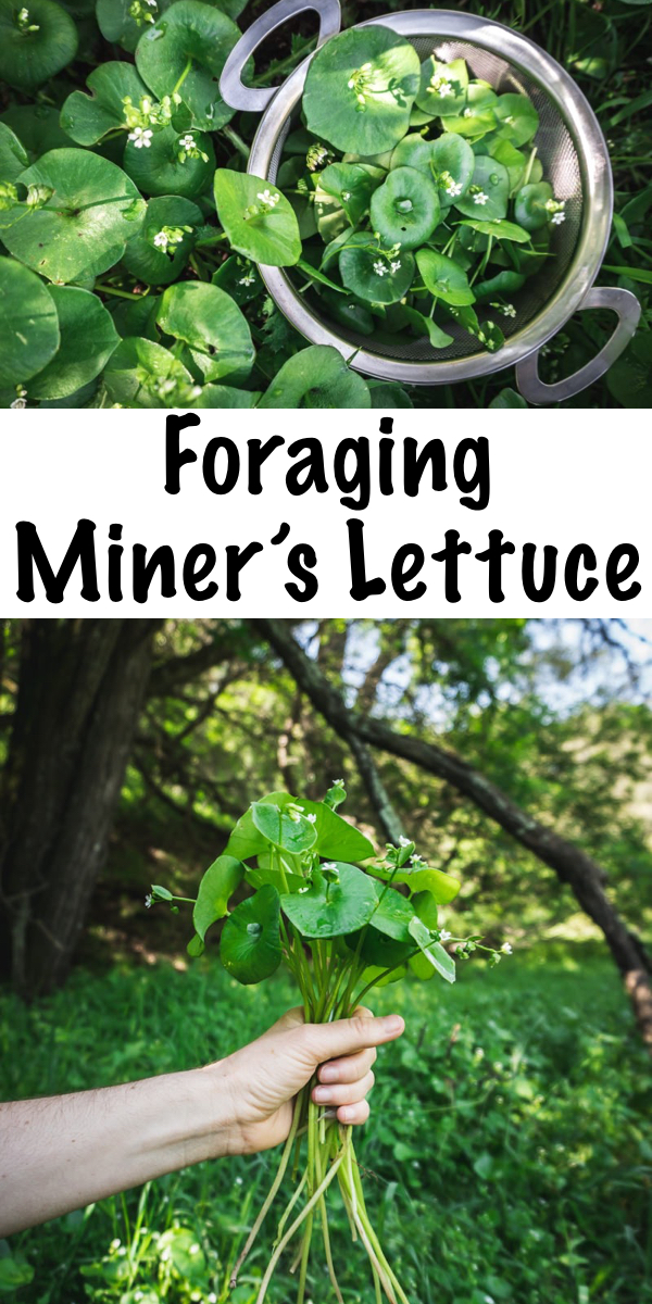 Foraging and Using Miner's Lettuce ~ Perfect for the beginning forager, miner's lettuce is a delicious, juicy and sweet wild green. Learn how and when to find this shade-loving green! #minerslettuce #springgreens #foraging #wildfood #forage #selfsufficiency  #wildcrafting #wildedibles
