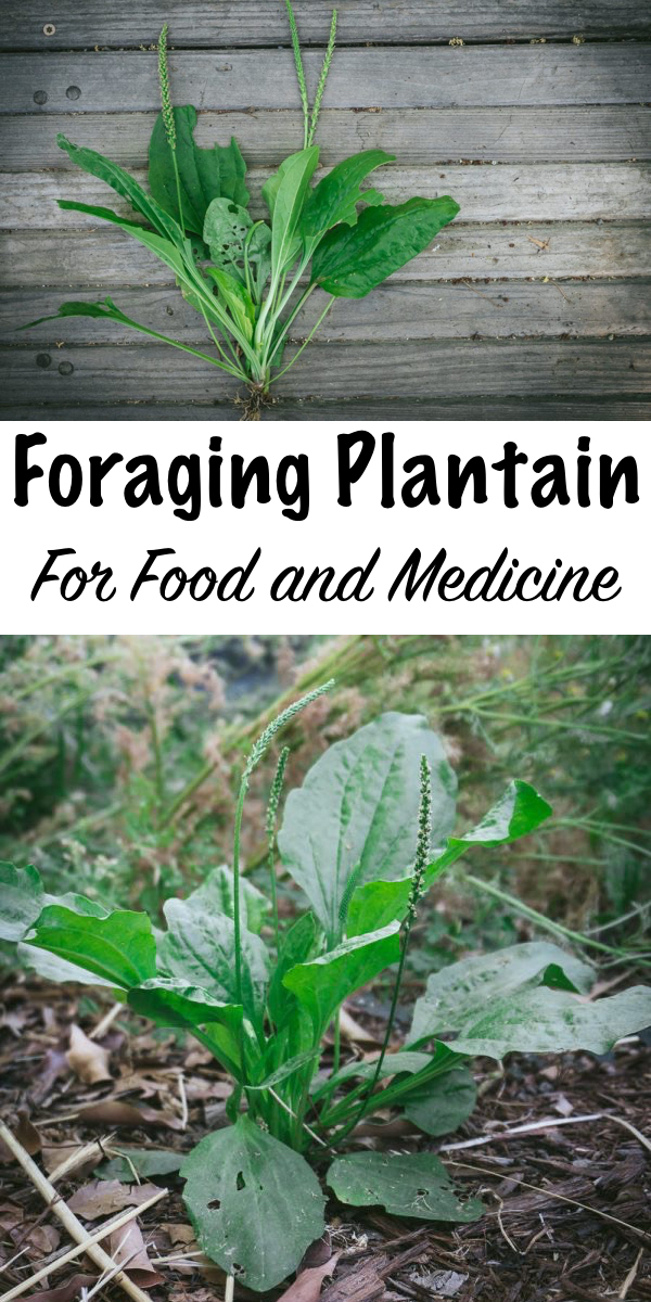 "Foraging Plantain for Food and Medicine ~ Learn how to identify and forage for plantain, a valuable first-aid ""weed"" that's easy to find- perfect for beginning foragers and medicine makers! #plantain #uses #foraging #wildfood #forage #selfsufficiency  #wildcrafting #wildedibles"
