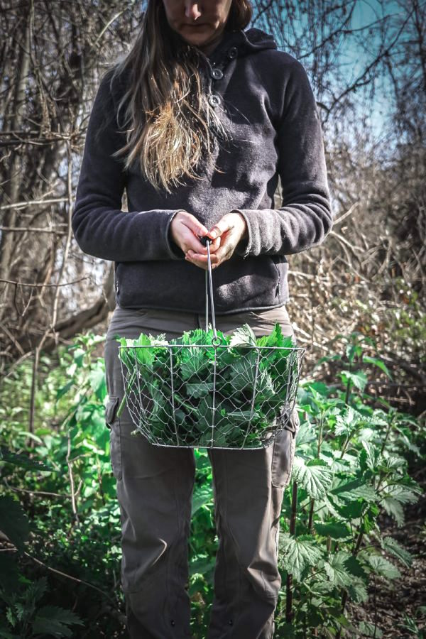 Foraging Stinging Nettles in the Wild