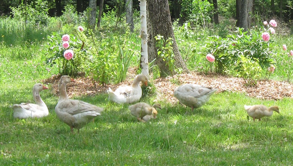 A family of domestic geese bedding down in a patch of edible peonies.