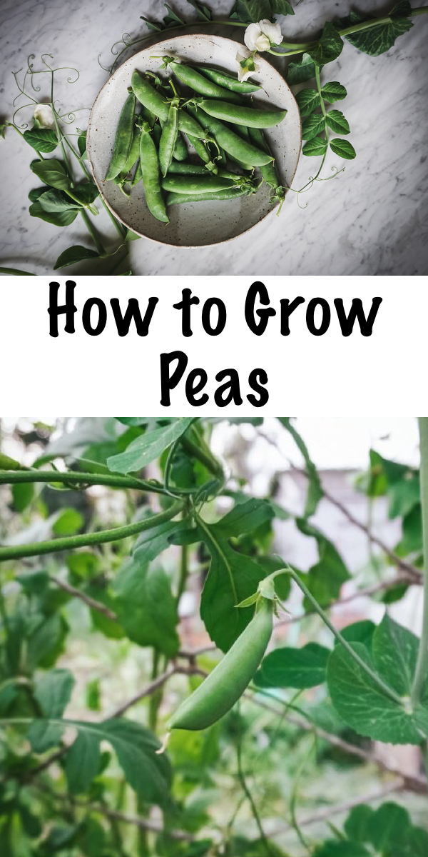 How to Grow Peas ~ The complete guide to all things snow, snap and garden peas! Learn how to grow peas, plus how to harvest peas, store fresh peas, ways to eat fresh peas, and, save pea seeds!