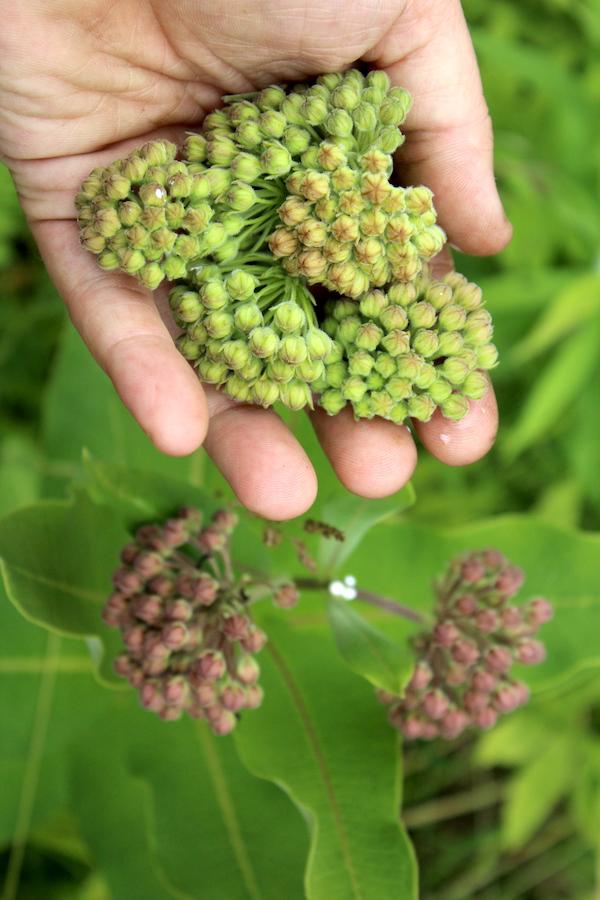 A handful of milkweed flower buds
